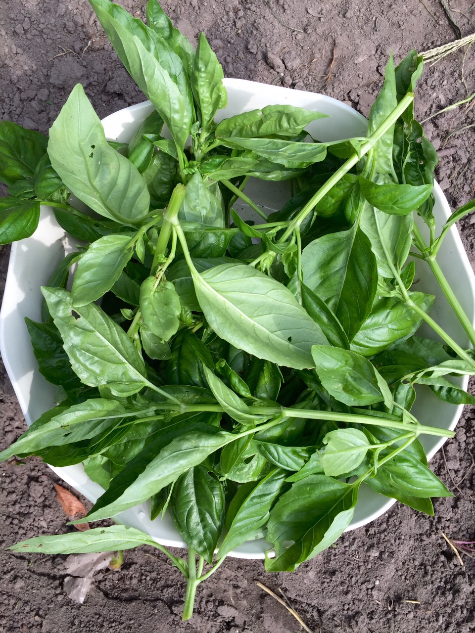 A New Way to Preserve Fresh Basil (freezing method, and NOT in an ice cube tray!) | Whole-Fed Homestead