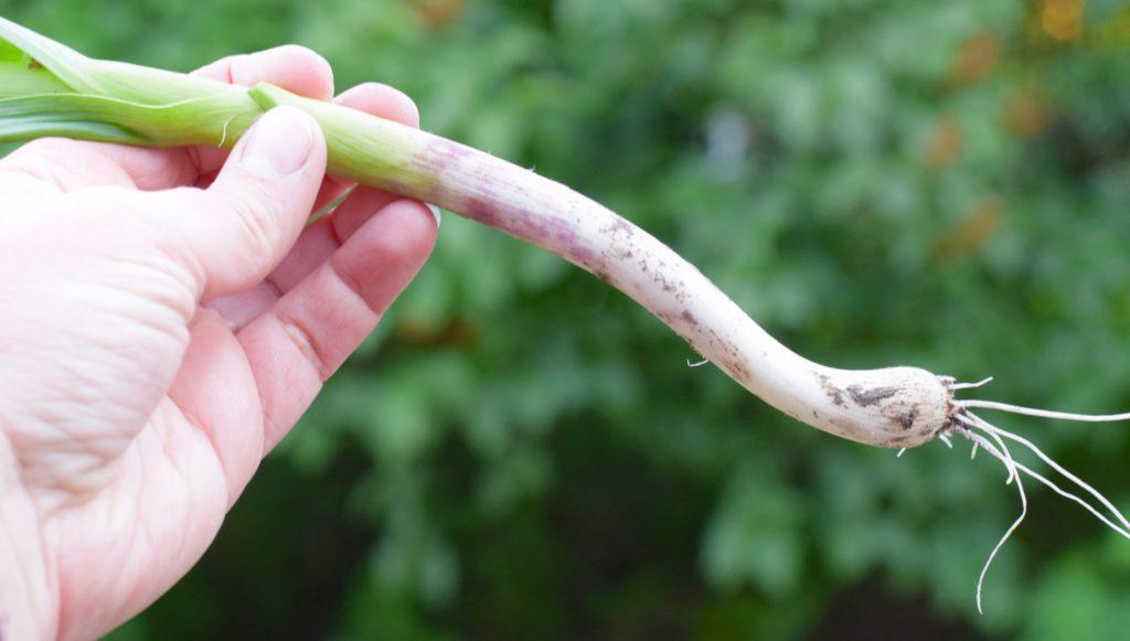 Green garlic 3 - 1