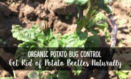 Organic Potato Bug Control: How to Get Rid of Potato Beetles Naturally