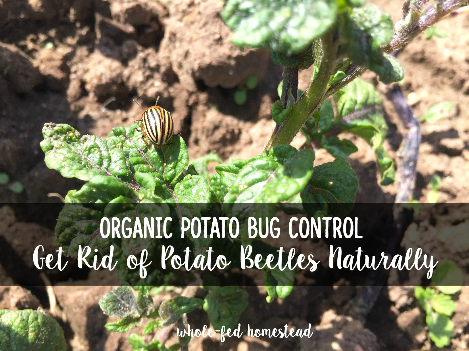 Organic potato bug control how to get rid of potato - How to get rid of bugs in garden ...