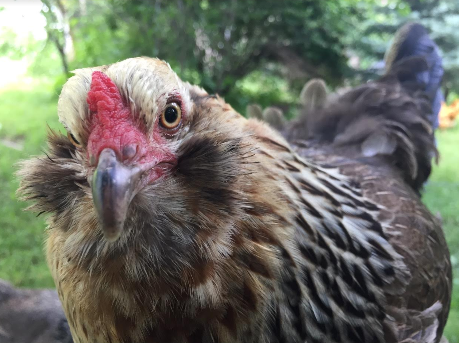 chicken loss - Homestead Monthly: July & August {harvesting, preserving, and loss}   Whole-Fed Homestead
