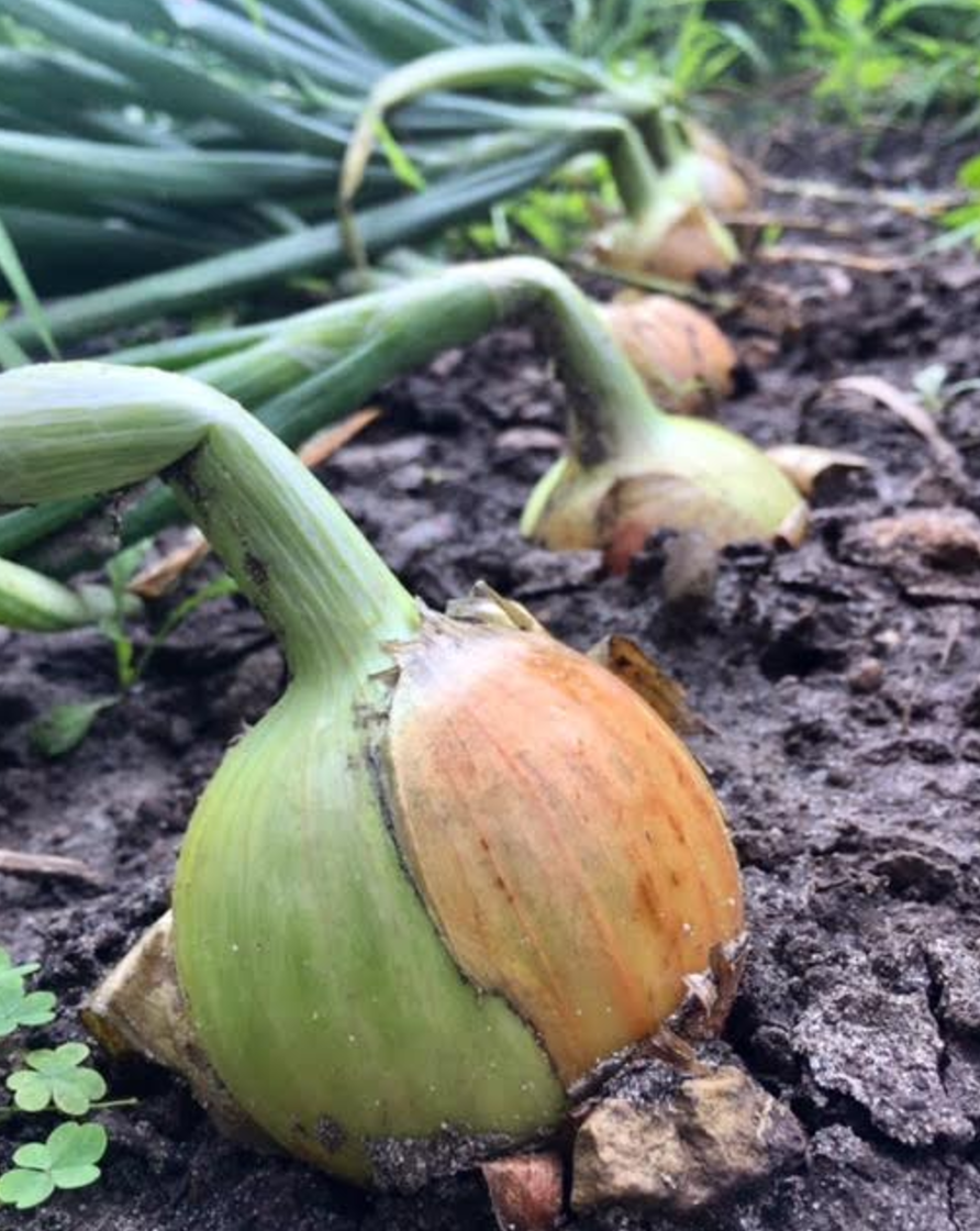 growing onion in Wisconsin - Homestead Monthly: July & August {harvesting, preserving, and loss} | Whole-Fed Homestead