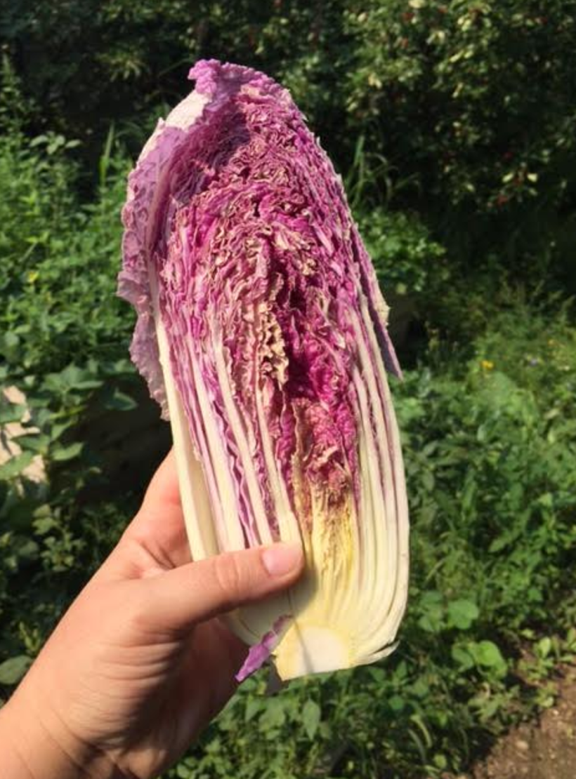 scarlet napa cabbage -Homestead Monthly: July & August {harvesting, preserving, and loss} | Whole-Fed Homestead
