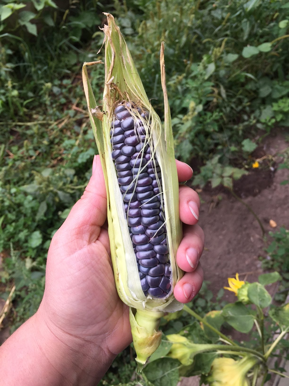 blue jade sweet corn - Homestead Monthly: July & August {harvesting, preserving, and loss} | Whole-Fed Homestead