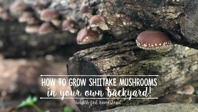 How to Grow Shiitake Mushrooms in Your Own Backyard!
